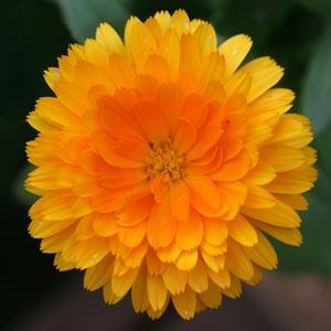 calendula-flower from www.hort.wisc.edu
