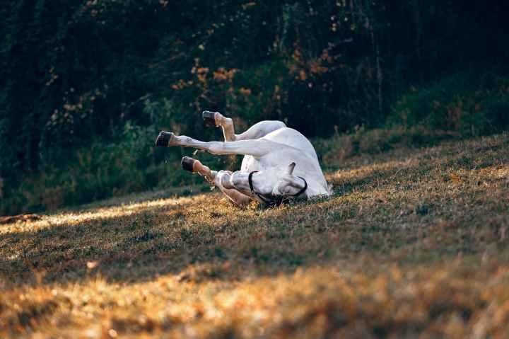 white horse lying on ground